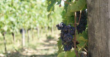 Las uvas de la Toscana